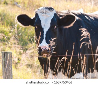 A cow staring out from behind her fence.