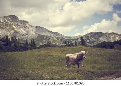 Cow in the Styrian Alps Austria - Shutterstock ID 1158781090