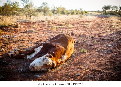 A cow succumbs to the Australian Outback heat near Gemtree in the Northern Territory, Australia