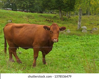 Cow in Småland, Sweden.
