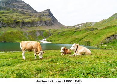 Cow in Switzerland Alps mountain at Grindelwald First