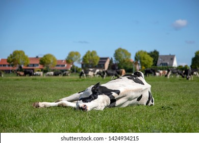 Cow takes a power nap, stretched out in the pasture, relaxed and happy, lazy lying, in Holland, background of houses and herd of cows.