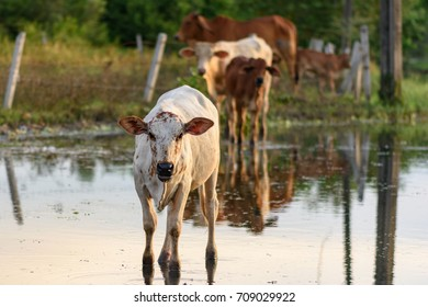 cow in thailand