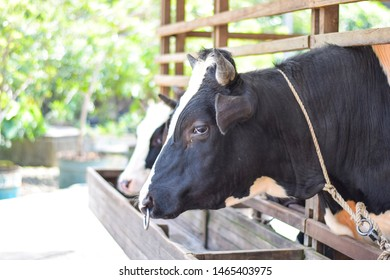 Cow that is photographed in an animal captivity