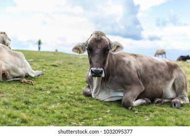 Cow in the tirol alps