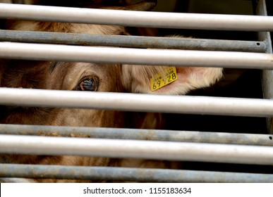 Cow in a truck interior, sad, on the way to the slaughterhouse