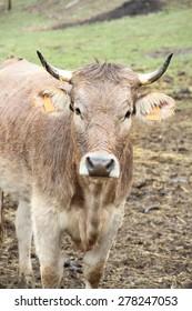 Cow under rain in Bescaran in Alto Urgell Pyrenees mountains Catalonia Spain