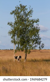 Cow under a tree in the village