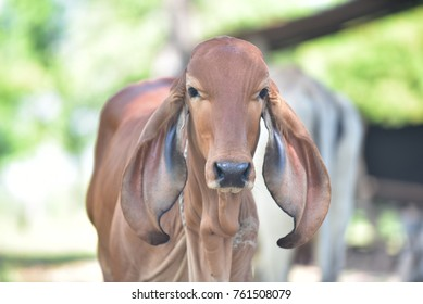 Cow is a very popular economic animal in northeastern Thailand.