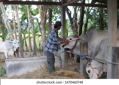 cow veterinarian holding head animal. yogyakata indonesia. august 5, 2019.