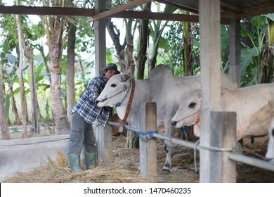 cow veterinary asian man holding head. yogyakata indonesia. august 5, 2019.
