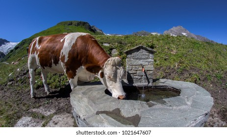 Cow at watering place at Kitzsteinhorn