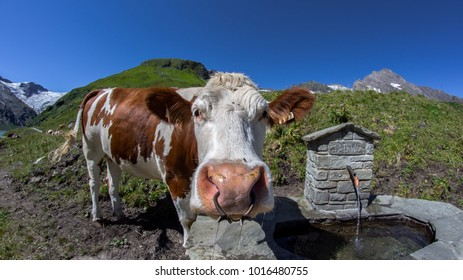 A cow 'what' question