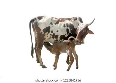 cow whit calf