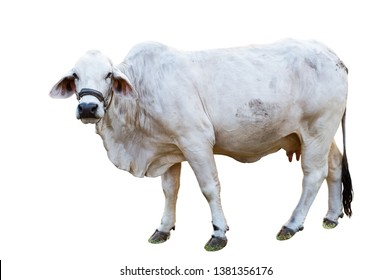 Cow white Isolated on white background