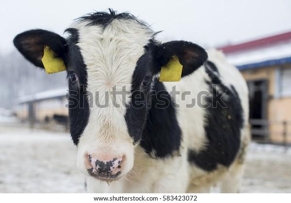 Cow in winter farm