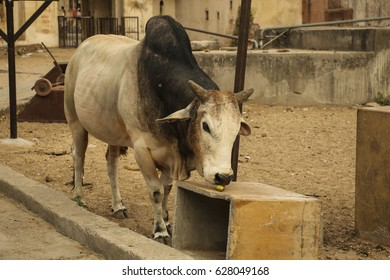 Cow Zebu is eating banana, India