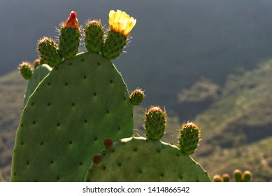 cowardly cactus in the mountain of Tenerife