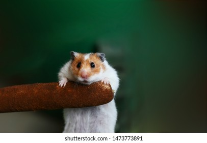 Cowardly hamster is afraid of heights so that eyes are out of orbit.