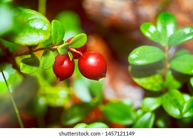 Cowberries bushes with ripe berries and leaves in the forest. Close-up