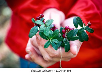 Cowberries twigs with berries and leaves in the woman hands. Close-up.