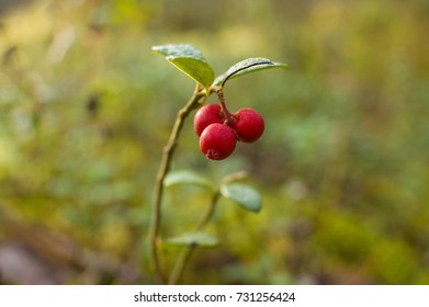 Cowberry in autumn forest