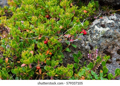 Cowberry at Barnafoss area, Iceland