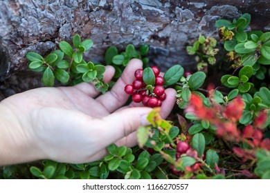 Cowberry berries growing on bush in hand, close-up