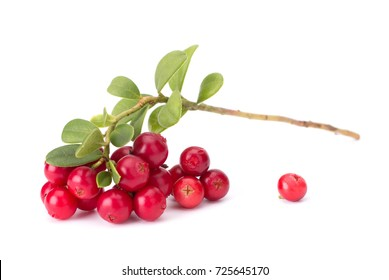 Cowberry branches handpicked, still life, isolated on white background closeup