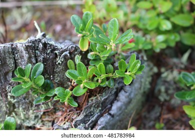 Cowberry bush on a trunk