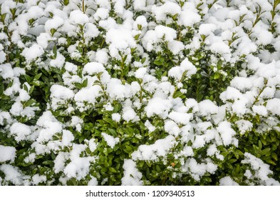 cowberry bushes in winter under the snow