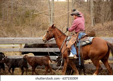 Cowboy in western wear on a horse roping a calf