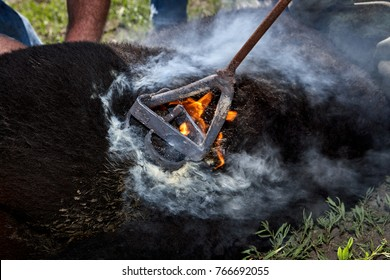 Cowboys branding a calf with a red hot fire-heated branding iron causing his hair and hide to smoke and flame in a close up view