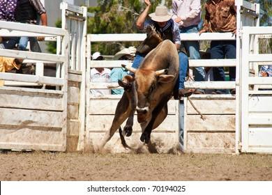cowboy's riding dangerous bull on australia day rodeo festival