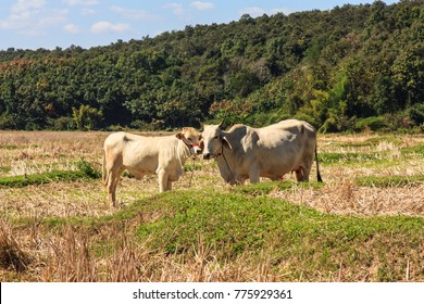 The cowes to graze naturally on the farm