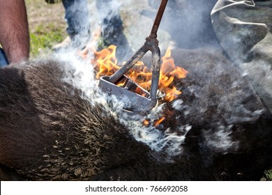 Cowhands branding a young calf with a red hot branding iron on his flank amidst smoke and flames