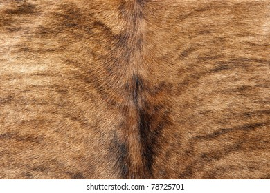 Cowhide, Texture of a brown cow fur, closeup