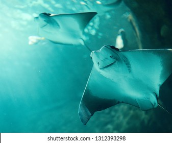 Cownose Rays swimming in blue waters at Ripley's Aquarium, in Toronto, Canada