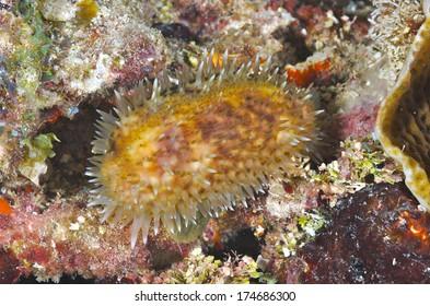 Cowry with Mantle - Marine gastropod -