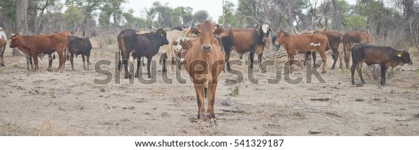 cows in Africa