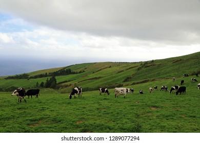 Cows in Agua de Pau Massif, Sao Miguel Island, Azores, Portugal