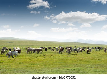 Cows of all colors grazing on the grassland under the blue sky and white clouds