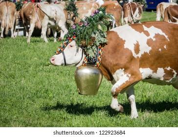 cows at a almabtrieb in pertisau - austria
