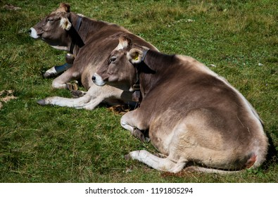 Cows in the Alps, near Madonna di Campiglio