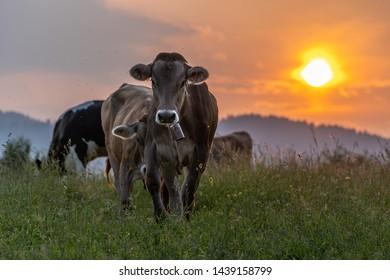 Cows in altopiano di Asiago ( Veneto) Italy