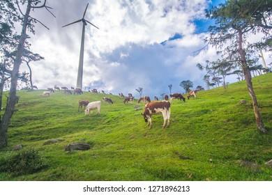Cows at Ambewela farm in Sri Lanka