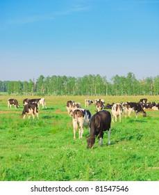 Cows Animals Grazing