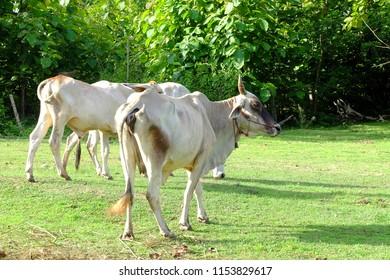 Cows in Asian farm
