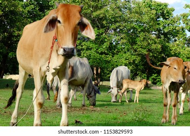 Cows in Asian farm, image 1