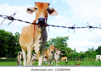 Cows in Asian farm, image 10